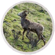 Round Beach Towel featuring the photograph Young Ram Climbing by Mike Dawson