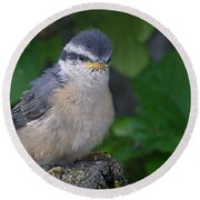 Round Beach Towel featuring the photograph Young Red-breasted Nuthatch No. 1 by Angie Rea