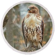 Young Red Tailed Hawk  Round Beach Towel