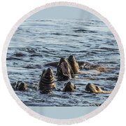 Young Sea Lions At Play Round Beach Towel