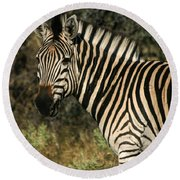 Zebra Watching Sq Round Beach Towel