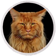 Angry Ginger Maine Coon Cat Gazing On Black Background Round Beach Towel