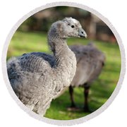 Cape Barren Goose And Geese Round Beach Towel