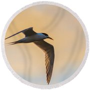 Crested Tern In The Early Morning Light Round Beach Towel