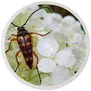 Banded Longhorned Beetle On Hydrangea Round Beach Towel