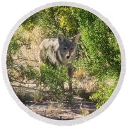 Cautious Coyote Round Beach Towel