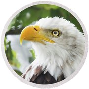 Bald Eagle Perched In A Tree Round Beach Towel
