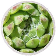Green Sempervivum Top Down Close Up Round Beach Towel