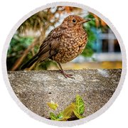 Juvenile Blackbird Round Beach Towel