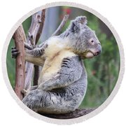 Koala In Tree Round Beach Towel