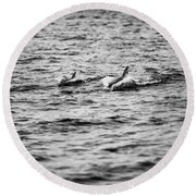 Mother Dolphin And Calf Swimming In Moreton Bay. Black And White Round Beach Towel