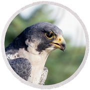 Round Beach Towel featuring the photograph Peregrine Falcon by Rick Veldman