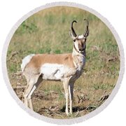 Pronghorn Looks My Way Round Beach Towel