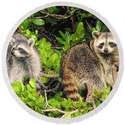 Raccoons In The Mangroves Round Beach Towel