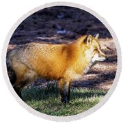 Round Beach Towel featuring the photograph Red Fox In Morning Sun by Dawn Richards
