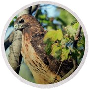 Round Beach Towel featuring the photograph Red-tailed Hawk Looking Down From Tree by Rick Veldman