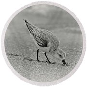 Sanderling Foraging For Food Round Beach Towel