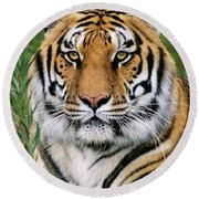 Siberian Tiger Staring Endangered Species Wildlife Rescue Round Beach Towel