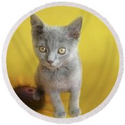 Sweet Chartreux Kitten Round Beach Towel