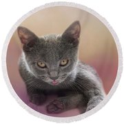 Tiny Chartreux Kitten Round Beach Towel