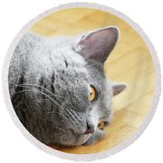 Tired Chartreux Cat Round Beach Towel