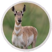 Young Antelope In Spring Round Beach Towel