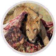 Young Lion On Cape Buffalo Kill Round Beach Towel