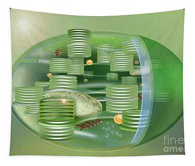 Chloroplast - Basis Of Life - Plant Cell Biology - Chloroplasts Anatomy - Chloroplasts Structure Tapestry
