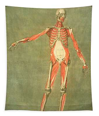 Deeper Muscular System Of The Front Tapestry