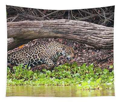 Female Jaguar Hunts Along The Pixiam Tapestry
