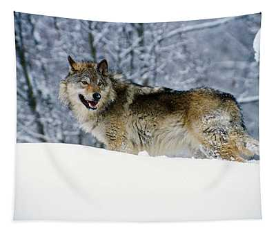 Gray Wolf In Snow, Montana, Usa Tapestry