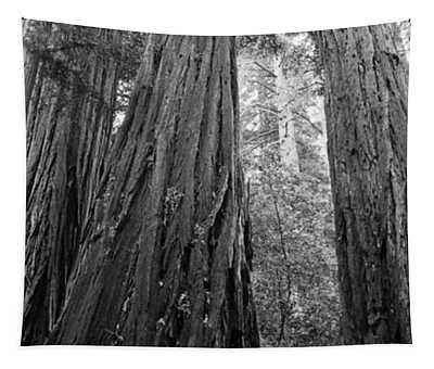 Redwood Trees, Muir Woods National Tapestry