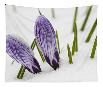 Two Purple Crocuses In Spring With Snow Tapestry