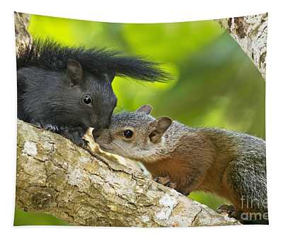 Wild Red-bellied Squirrels Interacting Tapestry