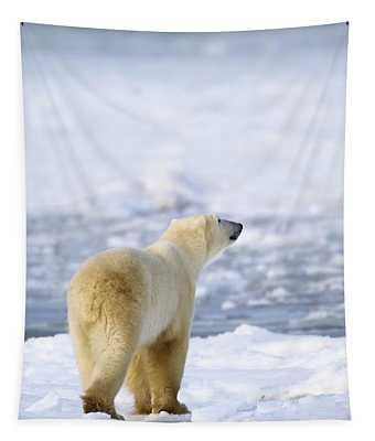 Polar Bear Ursus Maritimus Sniffs The Tapestry