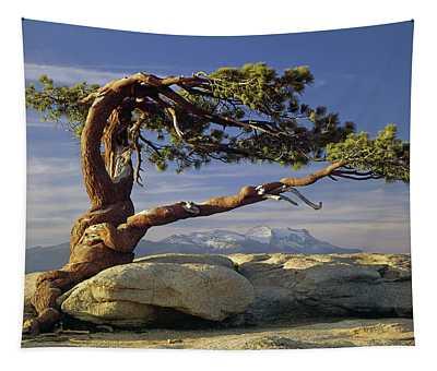 1m6701 Historic Jeffrey Pine Sentinel Dome Yosemite Tapestry