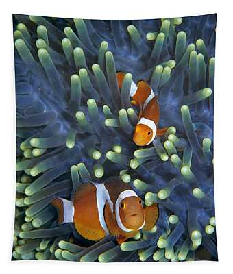 Clown Anemonefish Amphiprion Ocellaris Tapestry