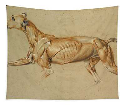 Ecorche Drawing Of A Whippet  Tapestry