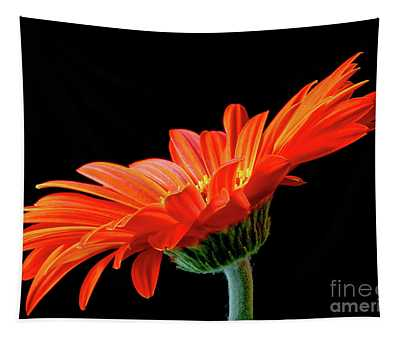 Orange Gerbera On Black Tapestry