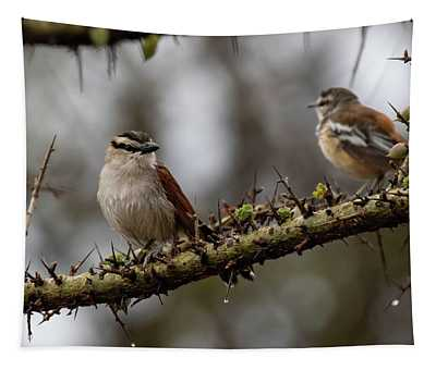 Black-crowned Tchagra And White-browed Scrub-robin Tapestry