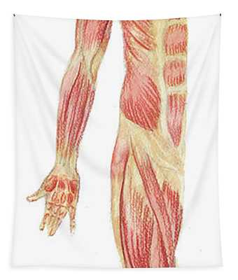 Body Muscles Anatomy Study Anterior View Tapestry