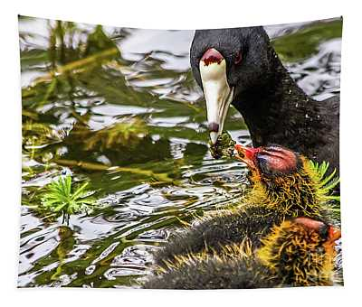 American Coot Feeding Chick Tapestry
