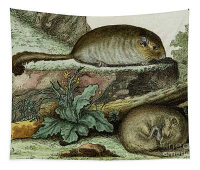 Dormice, 1780 Tinted Engraving By De Seve For 'histoire Naturelle...' By Comte De Buffon - 2 Tapestry