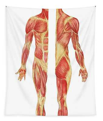 Medical Anatomy Body Muscles Study Posterior Anterior In Watercolor Tapestry