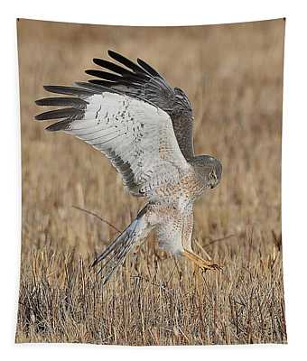 Northern Harrier Attacks Tapestry