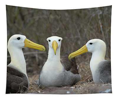 Three Waved Albatross On Nest, Espanola Island, Galapagos Tapestry