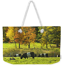 Belted Galloway Cows Grazing On Grass In Rockport Farm Fall Maine Photograph Weekender Tote Bag by Keith Webber Jr