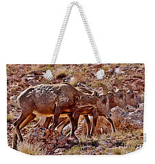 Weekender Tote Bag featuring the photograph Bighorn Canyon Sheep Trio by Janice Rae Pariza
