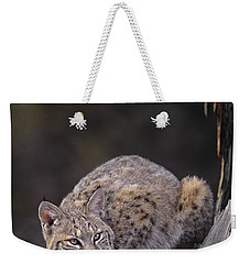 Weekender Tote Bag featuring the photograph Crouching Bobcat Montana Wildlife by Dave Welling