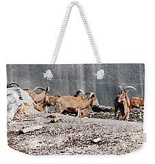 Meeting Of Barbary Sheep Weekender Tote Bag
